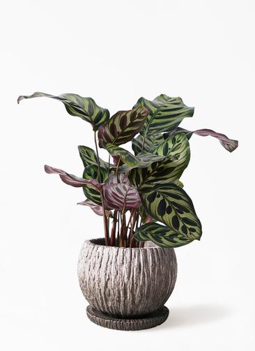観葉植物 カラテア マコヤナ 4号 ストーン ウェア セラミック 付き