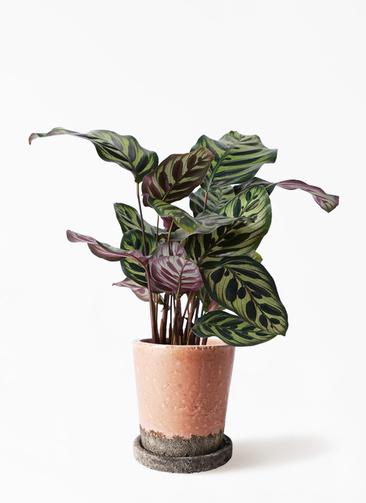 観葉植物 カラテア マコヤナ 4号 ヴィフポット サーモンピンク 付き