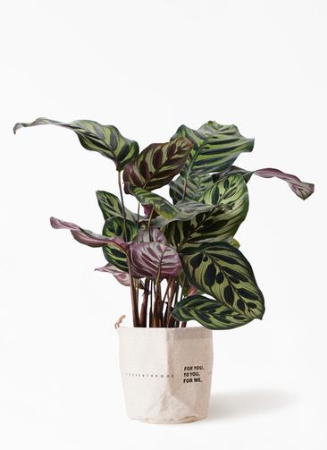 観葉植物 カラテア マコヤナ 4号 ラップサック 付き