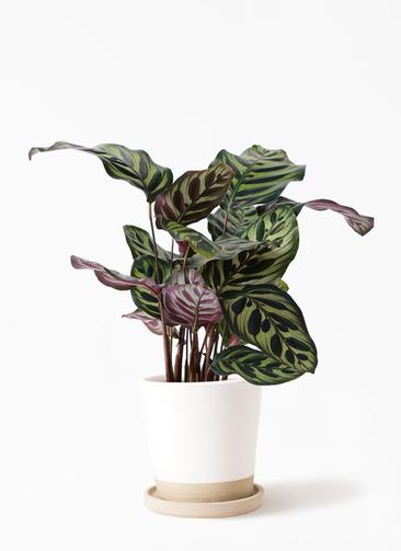 観葉植物 カラテア マコヤナ 4号 マット グレーズ テラコッタ ホワイト 付き
