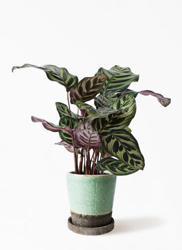 観葉植物 カラテア マコヤナ 4号 ヴィフポット ミントグリーン 付き