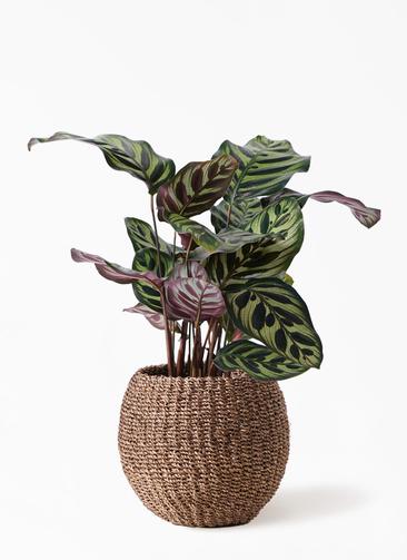観葉植物 カラテア マコヤナ 4号 アバカバスケット スモーク 付き