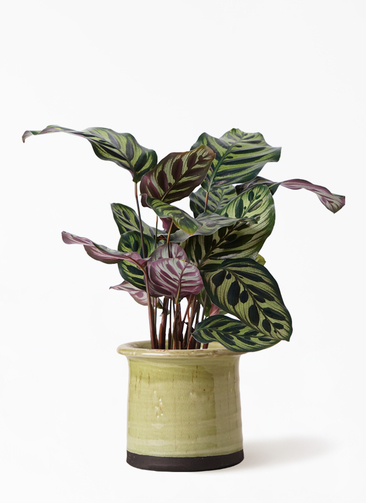 観葉植物 カラテア マコヤナ 4号 アンティークテラコッタ グリーン 付き