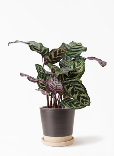 観葉植物 カラテア マコヤナ 4号 マット グレーズ テラコッタ ブラック 付き
