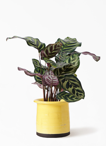 観葉植物 カラテア マコヤナ 4号 アンティークテラコッタ イエロー 付き
