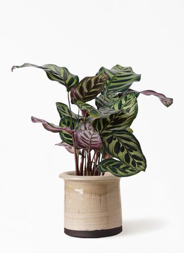 観葉植物 カラテア マコヤナ 4号 アンティークテラコッタ グレイ 付き