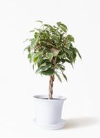 観葉植物 フィカス ベンジャミン 4号 プリンセス プラスチック鉢