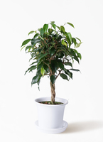 観葉植物 フィカス ベンジャミン 4号 玉造り プラスチック鉢
