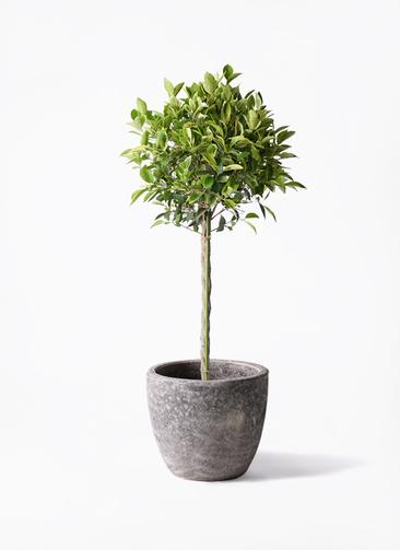 観葉植物 フィカス ベンジャミン 8号 ゴールデンスポット アビスソニアミドル 灰 付き