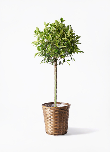 観葉植物 フィカス ベンジャミン 8号 ゴールデンスポット 竹バスケット 付き