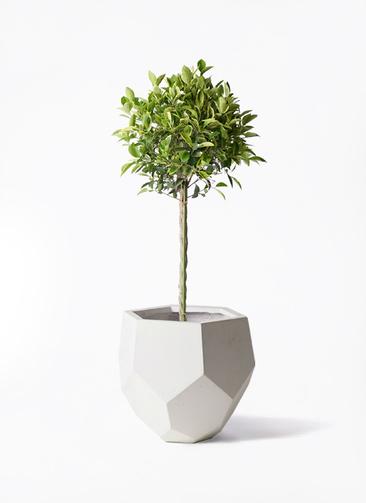 観葉植物 フィカス ベンジャミン 8号 ゴールデンスポット ポリゴヘクサ 白 付き