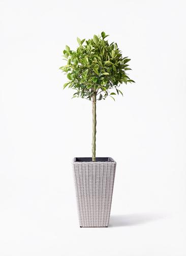 観葉植物 フィカス ベンジャミン 8号 ゴールデンスポット ウィッカーポット スクエアロング OT 白 付き