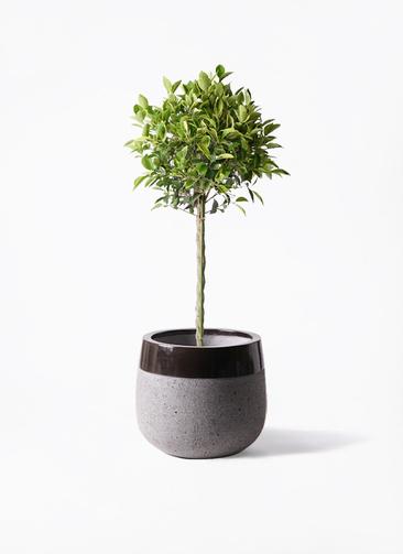 観葉植物 フィカス ベンジャミン 8号 ゴールデンスポット ファイバーストーンタウルス 黒 付き