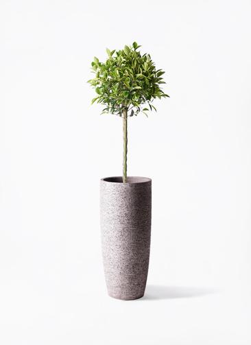 観葉植物 フィカス ベンジャミン 8号 ゴールデンスポット エコストーントールタイプ Gray 付き
