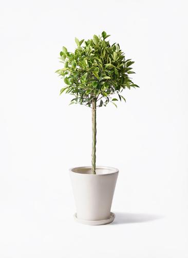 観葉植物 フィカス ベンジャミン 8号 ゴールデンスポット サブリナ 白 付き