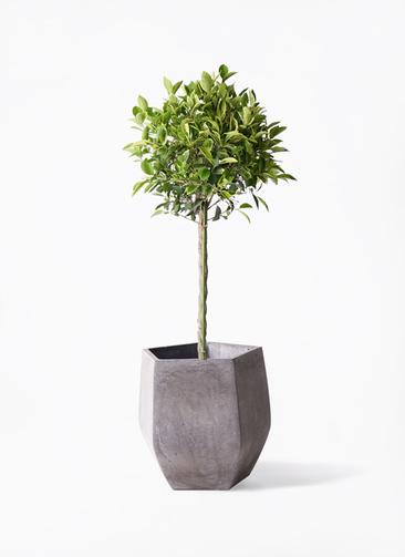 観葉植物 フィカス ベンジャミン 8号 ゴールデンスポット ファイバークレイ Gray 付き