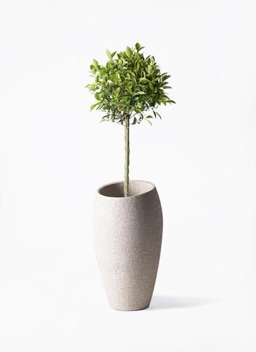 観葉植物 フィカス ベンジャミン 8号 ゴールデンスポット エコストーントールタイプ Light Gray 付き