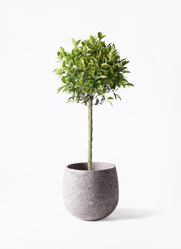 観葉植物 フィカス ベンジャミン 8号 ゴールデンスポット エコストーンGray 付き
