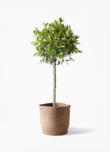 観葉植物 フィカス ベンジャミン 8号 ゴールデンスポット リブバスケットNatural 付き