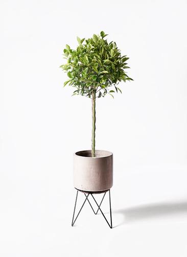 観葉植物 フィカス ベンジャミン 8号 ゴールデンスポット ビトロ エンデカ 鉢カバースタンド付 クリーム 付き