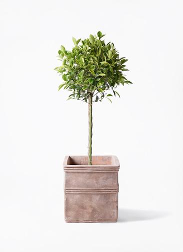 観葉植物 フィカス ベンジャミン 8号 ゴールデンスポット テラアストラ カペラキュビ 赤茶色 付き
