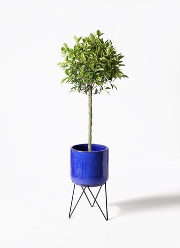 観葉植物 フィカス ベンジャミン 8号 ゴールデンスポット ビトロ エンデカ 鉢カバースタンド付 ブルー 付き