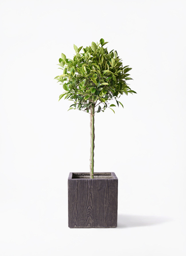 観葉植物 フィカス ベンジャミン 8号 ゴールデンスポット ベータ キューブプランター ウッド 茶 付き