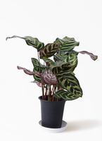 観葉植物 カラテア マコヤナ 4号 プラスチック鉢
