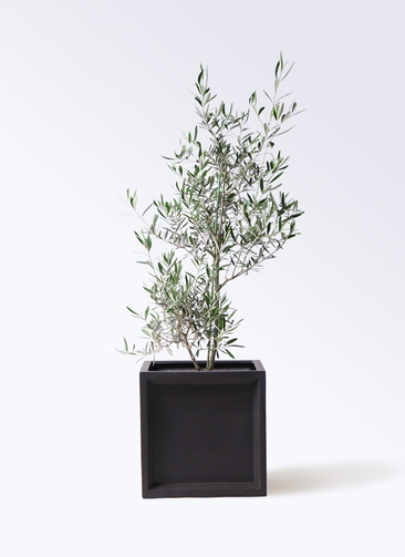 観葉植物 オリーブの木 8号 コラティーナ (コラチナ) ブリティッシュキューブ 付き