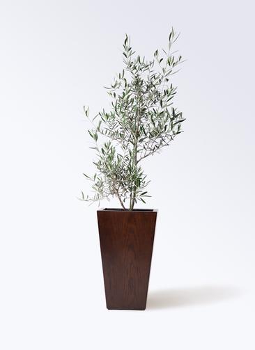 観葉植物 オリーブの木 8号 コラティーナ (コラチナ) MOKU スクエア 付き