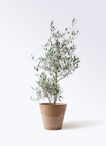 観葉植物 オリーブの木 8号 コラティーナ (コラチナ) アートストーン ラウンド ベージュ 付き