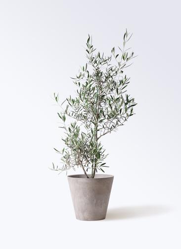 観葉植物 オリーブの木 8号 コラティーナ (コラチナ) アートストーン ラウンド グレー 付き