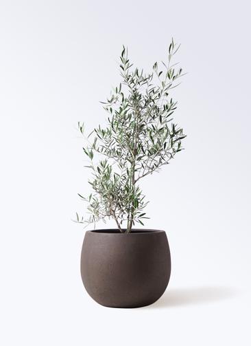 観葉植物 オリーブの木 8号 コラティーナ (コラチナ) テラニアス ローバルーン アンティークブラウン 付き