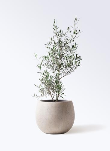 観葉植物 オリーブの木 8号 コラティーナ (コラチナ) テラニアス ローバルーン アンティークホワイト 付き