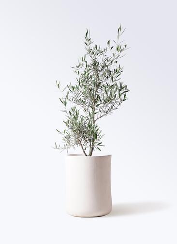 観葉植物 オリーブの木 8号 コラティーナ (コラチナ) バスク ミドル ホワイト 付き