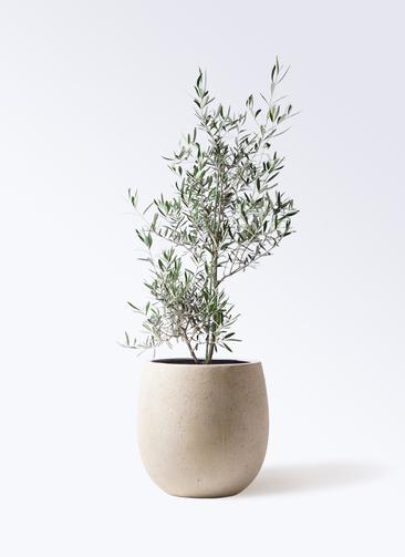 観葉植物 オリーブの木 8号 コラティーナ (コラチナ) テラニアス バルーン アンティークホワイト 付き