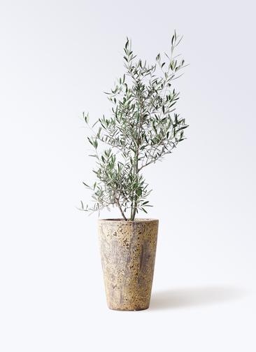 観葉植物 オリーブの木 8号 コラティーナ (コラチナ) アトランティス クルーシブル 付き