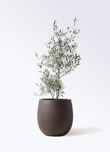 観葉植物 オリーブの木 8号 コラティーナ (コラチナ) テラニアス バルーン アンティークブラウン 付き