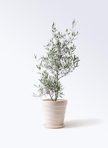 観葉植物 オリーブの木 8号 コラティーナ (コラチナ) サバトリア 白 付き