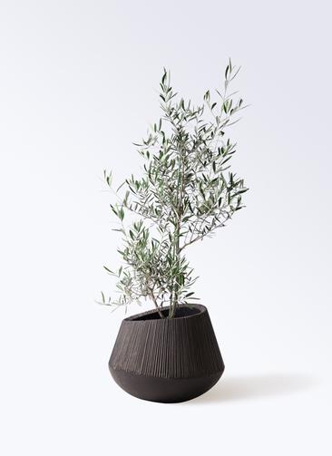 観葉植物 オリーブの木 8号 コラティーナ (コラチナ) エディラウンド 黒 付き