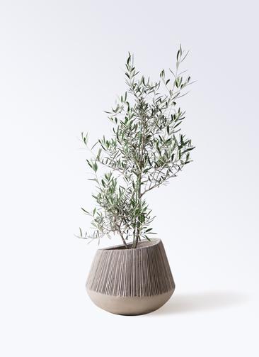 観葉植物 オリーブの木 8号 コラティーナ (コラチナ) エディラウンド グレイ 付き