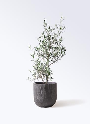 観葉植物 オリーブの木 8号 コラティーナ (コラチナ) カルディナダークグレイ 付き