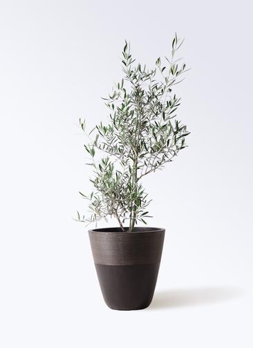 観葉植物 オリーブの木 8号 コラティーナ (コラチナ) ジュピター 黒 付き