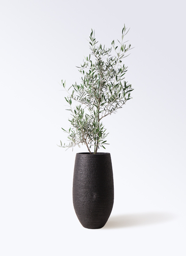 観葉植物 オリーブの木 8号 コラティーナ (コラチナ) フォンティーヌトール 黒 付き