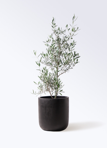 観葉植物 オリーブの木 8号 コラティーナ (コラチナ) エルバ 黒 付き