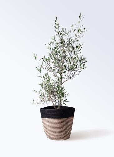 観葉植物 オリーブの木 8号 コラティーナ (コラチナ) リブバスケットNatural and Black 付き