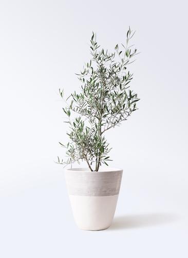 観葉植物 オリーブの木 8号 コラティーナ (コラチナ) ジュピター 白 付き