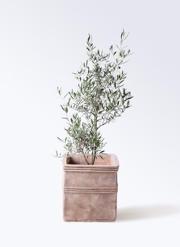 観葉植物 オリーブの木 8号 コラティーナ (コラチナ) テラアストラ カペラキュビ 赤茶色 付き