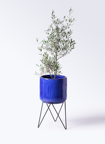観葉植物 オリーブの木 8号 コラティーナ (コラチナ) ビトロ エンデカ 鉢カバースタンド付 ブルー 付き