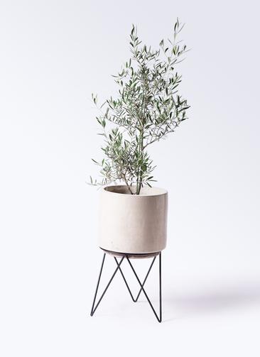 観葉植物 オリーブの木 8号 コラティーナ (コラチナ) ビトロ エンデカ 鉢カバースタンド付 クリーム 付き